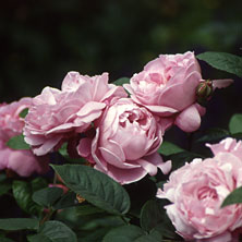 Englische Rose 'Mary Rose'